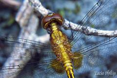 001_i0001 (tacio) Tags: macro closeup inseto philip macrophotography macrofotografia tacio taciophilip