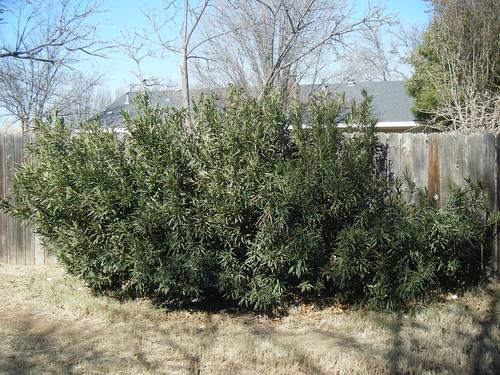 Huge Oleander
