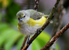 Fifi-verdadeiro-fmea, Purple-throated Euphonia - female -(Euphonia chlorotica) (claudio.marcio2) Tags: bird nature natureza pssaro soe birdwatcher naturesfinest allyouneedislove blueribbonwinner justonelook flickrnature wingedwonders mywinners abigfave worldbest anawesomeshot colorphotoaward ultimateshot crystalaward goldenphotographeraward photosandcalendar ysplix prettynaturephotos photostosmileabout naturewatcher betterthangood theperfectphotographer natureislovely dragongoldaward natureselegantshots multimegashot birdsinsideandoutside stunningplanetearth feathersbeaksbirds damniwishidtakenthat naturespotofgold worldnaturewildlifecloseup atravsdeminhalentethroughmylens thewonderfulworldofbirds naturescreations theworldbestnaturewildlifeandmacrophotography saariysqualitypicturesgallery drangonflyawardsgroup