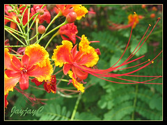 Caesalpinia pulcherrima (Dwarf Poinciana, Peacock flower, Pride of Barbados, Red Bird-of-Paradise) in the neighborhood