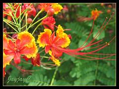 Caesalpinia pulcherrima (Dwarf Poinciana, Peacock flower, Pride of Barbados, Red Bird-of-Paradise) in the neighborhood