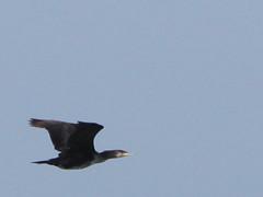 Cormorants flying #1/     (Mehdi Kavousian) Tags: bird iran  persiangulf     iranwildlife     nakhilooisland nakhiloo    birdsofiran mondconservedarea  conservedarea