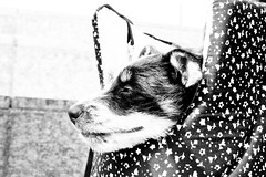 dog sleepwatching (Maxime Billon) Tags: dog eyes ears cutedog littledog sleepingdog closedeye chillingdog