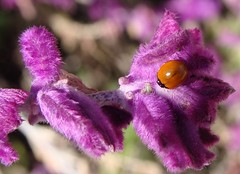 non-spotted ladybug on unknown purple flower, ...