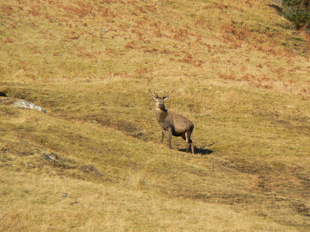Deer executing Scottish Tourist Board Approved Stance #3