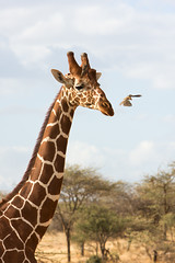 Visitor leaving .... (Wild Dogger) Tags: africa travel nature animals tiere wildlife urlaub natur safari afrika giraffe mammals samburu 2009 kenia herbivore ostafrika oxpecker giraffacamelopardalis reticulatedgiraffe sugetier giraffidae pflanzenfresser netzgiraffe giraffacamelopardalisreticulata thomasretterath samburufive