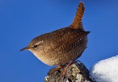 Winter Wren (offiof) Tags: winter bird nature birds canon iceland wildlife 5d wren troglodytes mkii 100400 msarrindill