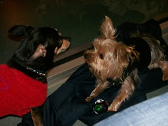 Gizzy 5 (dadootdoots) Tags: dogs cuteness yorkies playgroups