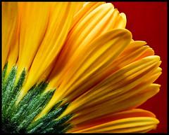 Yellow Gerbera (Stephmaster) Tags: flowers flower macro art yellow closeup spring flora blossoms gelb gerbera 60mm nikkor blume makro frhling sb800 strobist ultracloseup colorphotoaward macroflowerlovers nikkor60mm28d