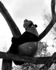 The Dreamer (AnotherSaru - Off and on for a few weeks) Tags: bear sky bw tree japan zoo panda looking chinese kobe nippon giantpanda staring kansai oji koukou ojizoo