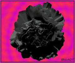 Black flower (BlikART) Tags: sensational beautysecret colorphotoaward colourartaward