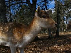 daim (Alexandre Kundun) Tags: animal parc spent daim combe