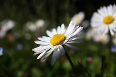[フリー画像] [花/フラワー] [ヒナギク/デイジー ] [ホワイト/花]        [フリー素材]