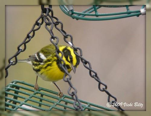 Townsend's Warbler #2