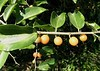 fruits of IGUANA HACKBERRY (Celtis iguanaea - morfo: iguanaea) frutos de tala gateador # Original= (3520 x 2479) (turdusprosopis) Tags: hackberry mertensia ulmaceae cannabaceae deserthackberry floraargentina elmfamily celtidoideae caribbeantrees celtidaceae plantasargentinas plantasdeargentina plantasautóctonasargentinas plantasautóctonasdelaargentina floraautóctonaargentina floraautóctonadeargentina plantasnativasargentinas plantasnativasdeargentina plantasnativasdelaargentina floradelaargentina floradeargentina plantasautóctonasdeargentina floraautóctonadelaargentina floranativabrasileira floranativadobrasil floradobrasil argentineindigenousplants treesofnorthamerica floraofnorthamerica celtisspinosa celtisaculeata celtisdiffusa biotaofnorthamerica newworldfruits floraofflorida celtisiguanaea celtisiguanaeajacqsarg celtispubescens celtisglycycarpa celtismorifolia celtistriflora celtisspinosissima iguanahackberry celtissp plantsofnorthamerica uruguayantrees uruguaystrees treesofuruguay treesofparaguay paraguaystrees paraguayantrees plantsofflorida coatingiba grãodegalo joámiúdo