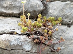Sedum ardéchois (Isaszas) Tags: nature sedum rocher ardèche faille
