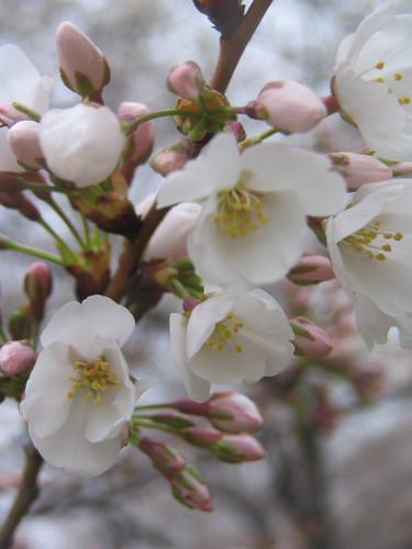 Beginning Blossoms
