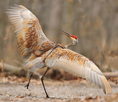 Dancing Sandhill Crane (JRIDLEY1) Tags: red brown wings nikon dancing deer kensington sandhillcrane zenfolio platinumphoto anawesomeshot avianexcellence brightonmichigan goldstaraward tnc09 jridley1 jimridley excellence~ photocontesttnc09 dailynaturetnc09 httpjimridleyzenfoliocom photocontesttnc10 lifetnc10 jimridleyphotography httpwwwjimridleyphotographycom photocontesttnc11 photocontesttnc12