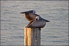 Pelican Pals (Tom Gill.) Tags: gulfofmexico water birds florida waterbird pelican brownpelican pinellascounty