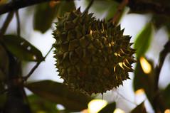 Manek Urai: Durian by Syed Azidi AlBukhary