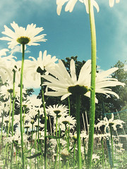 The Daisy Canopy (3LambsStudio) Tags: flowers blue summer sky white flower tree green daisies forest photoshop petals blossom photoshopped adobe daisy bloom summertime canopy photoshopfilter cs3 photoshopaction editedwithphotoshop photoshopedited editedinphotoshop photoshopcs3 adobecs3 madewithphotoshop madeusingphotoshop