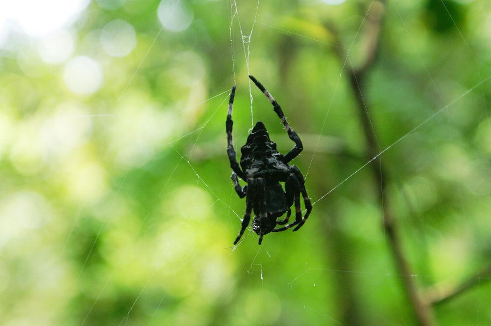大崙頭尾080 恐怖黑蜘蛛