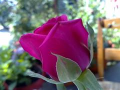 rose n97 nokian97