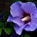 Tuinhibiscus - Rose of Sharon or Shrub Althea - Hibiscus syriacus