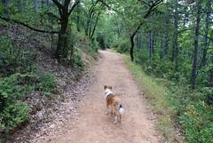 pondering the path ahead (kosova cajun) Tags: dog mountain forest woods path sheltie trail macedonia balkans cody shetlandsheepdog skopje makedonija vodno shkupi shkup southeasterneurope maqedonia