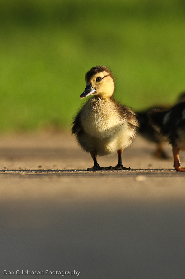 duckpond-209