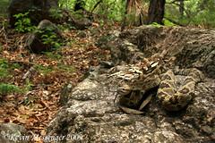 Crotalus molossus (blacktail rattlesnake) (Kevin Messenger) Tags: slr digital canon eos rebel xt kevin reptile snake wildlife pit 7d messenger dslr viper snakes rattlesnake reptiles herpetology crotalus molossus serpentes squamata xti 40d 60d kevinmessenger