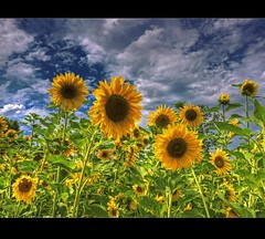 Sonne Blume Feld ( rednaxela_west) Tags: flowers sky plants field yellow clouds canon garden eos tulips natur blossoms pflanzen himmel sigma blumen bleu explore sunflowers blau ostern 18200 garten tulpen sonnenblume blten 50d vosplusbellesphotos hdrcreativeshots