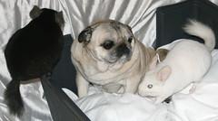 Surrounded (wisely-chosen) Tags: dog pug august midnight bebe chinchillas lightning 2009 picnik beebs fawnpug adobephotoshopcs4 rescuedpug pinkwhitechinchilla extradarkebonychinchilla