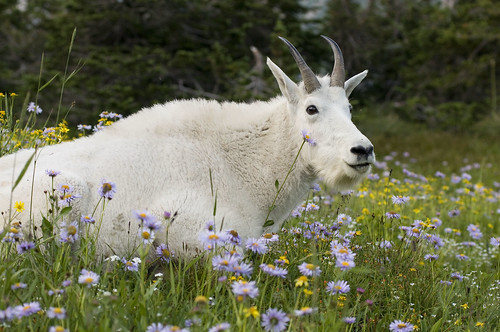 MountainGoatFlowers