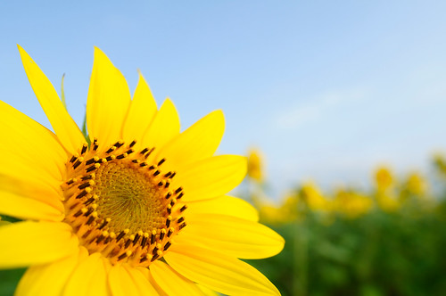 20090815 Sunflower 5