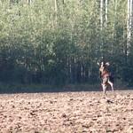 Bull Moose on the Run thumbnail