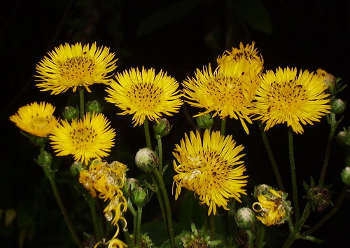 Wild Yellow Flowers Flores Silvestres Amarillas A Photo On