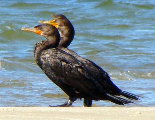 1 banded cormorants sony