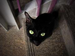 Emerald eyes (worrakorn) Tags: green cat blackcat eyes emerald
