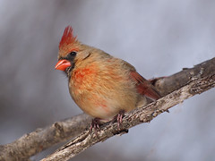 Lady Cardinal (MLK6615) Tags: bird cardinal niagara