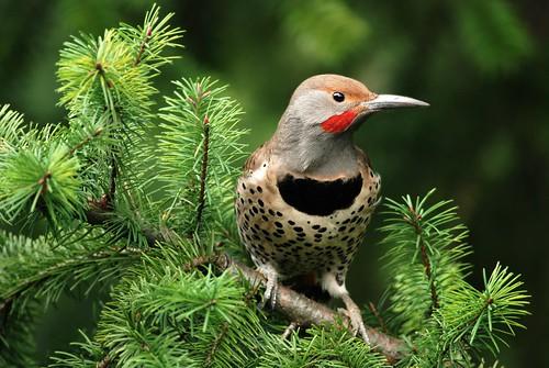 [フリー画像] 動物, 鳥類, キツツキ科, ハシボソキツツキ, 201005030500