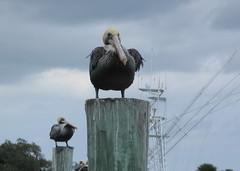 Pelicans standing gurard (FlaSunshine) Tags: pelicans marina florida jupiter posts thefunhouse