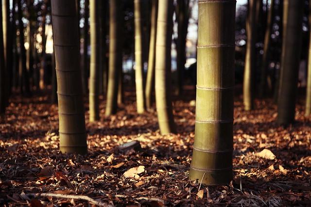 竹林への斜光