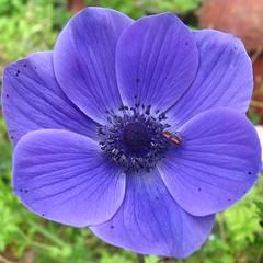 Anemone and friend - כלנית וידיד (yoel_tw) Tags: anemone bugonflower כלנית פשפשעלפרח