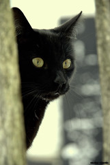 Feline look ..... (Nicolas Valentin) Tags: snow black look cat fence eyes feline pussy spike jacscat