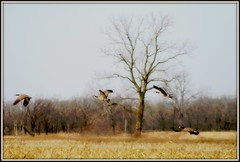 Geese in Flight III (mightyquinninwky) Tags: trees bird field birds rural geotagged flying geese inflight wings award waterbird aves goose ave watershed letterbox treeline invite waterbirds wildliferefuge cinemascope awarded harvestedfield floodplane avianphotography betterthangood sloughswildliferefuge geo:lat=37845986 geo:lon=87698836 bestofformyspacestation
