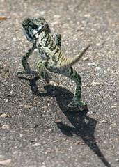 Flap Necked Chameleon (Chamaeleo dilepis) (Gaëll) Tags: southafrica chameleon kruger chamaeleo chamaeleonidae chamaeleodilepis