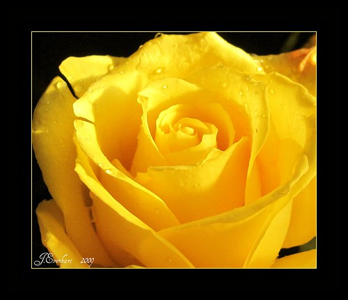 Lemon Crisp Rose by J.Everhart