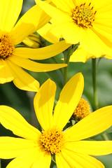 Mellow Yellow (bigbrowneyez) Tags: flowers flower macro nature yellow backyard daisy bouquet otw brightens melow awesomeblossoms