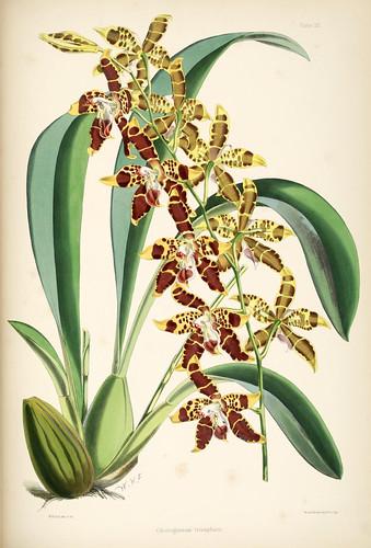 023-Odontoglossum triumphans